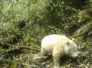 Panda albino